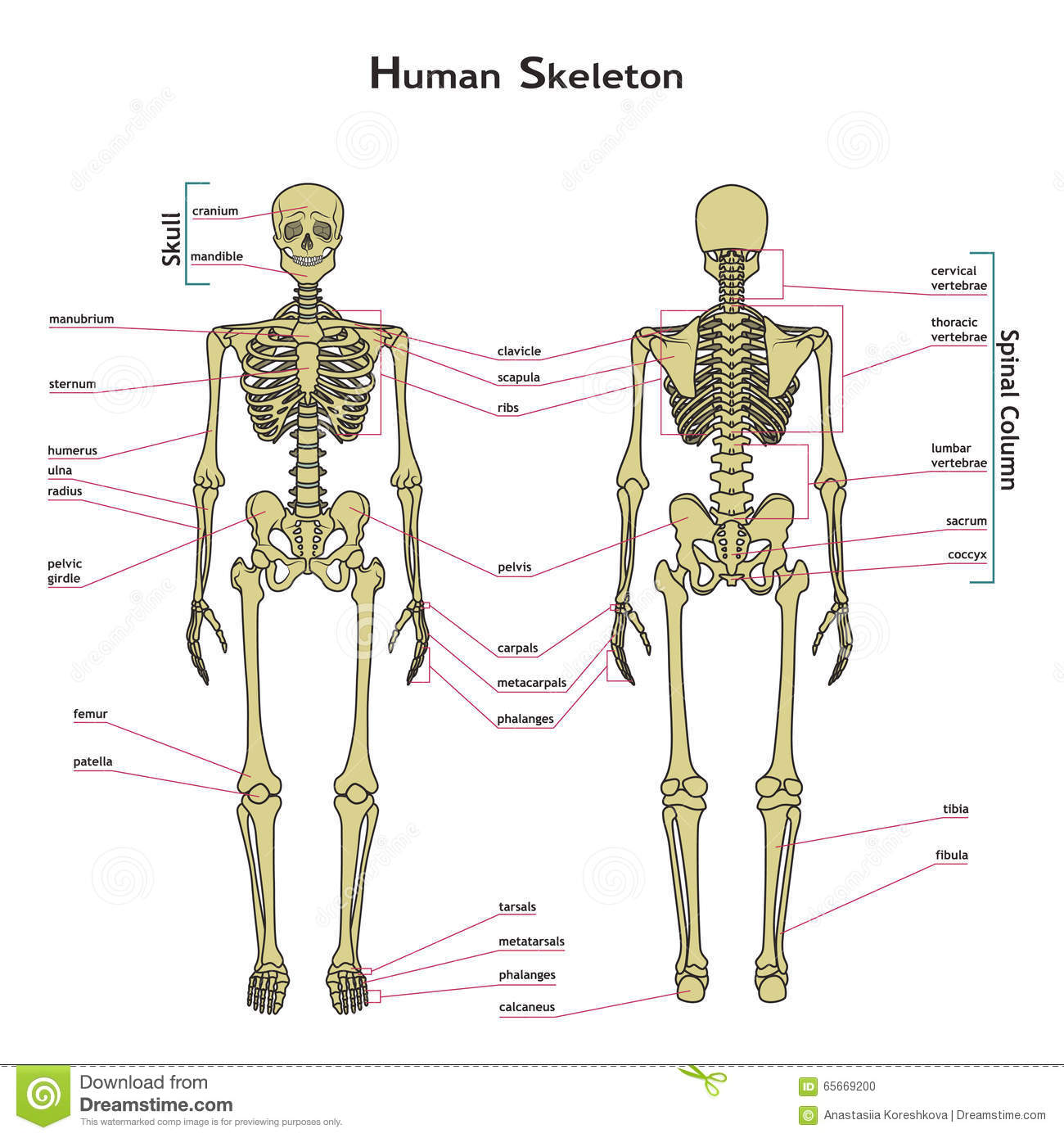 hight resolution of human skeleton front and rear view with explanatations