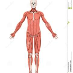 Human Skeleton And Muscles Diagram Vafc Wiring Muscle Anatomy Isolated Stock Illustration