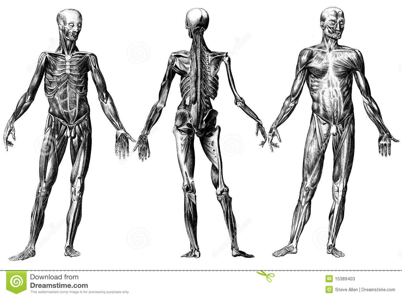 Human Skeleton And Muscles Stock Photos