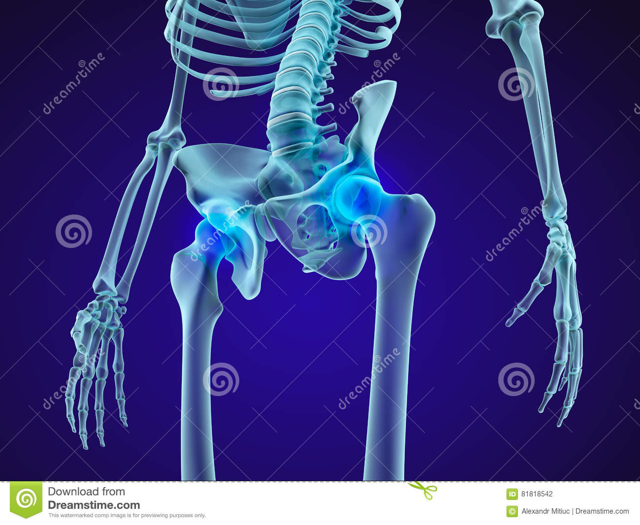 hight resolution of human skeleton pelvis and sacrum xray view medically accurate 3d illustration