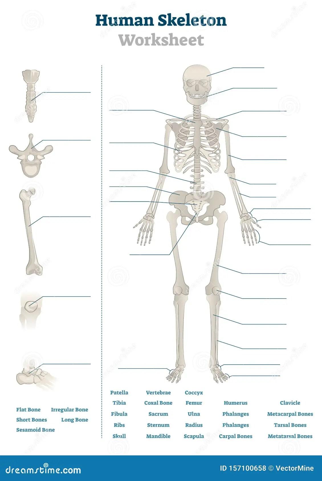 Student Worksheet Skeletal System   Printable Worksheets ...