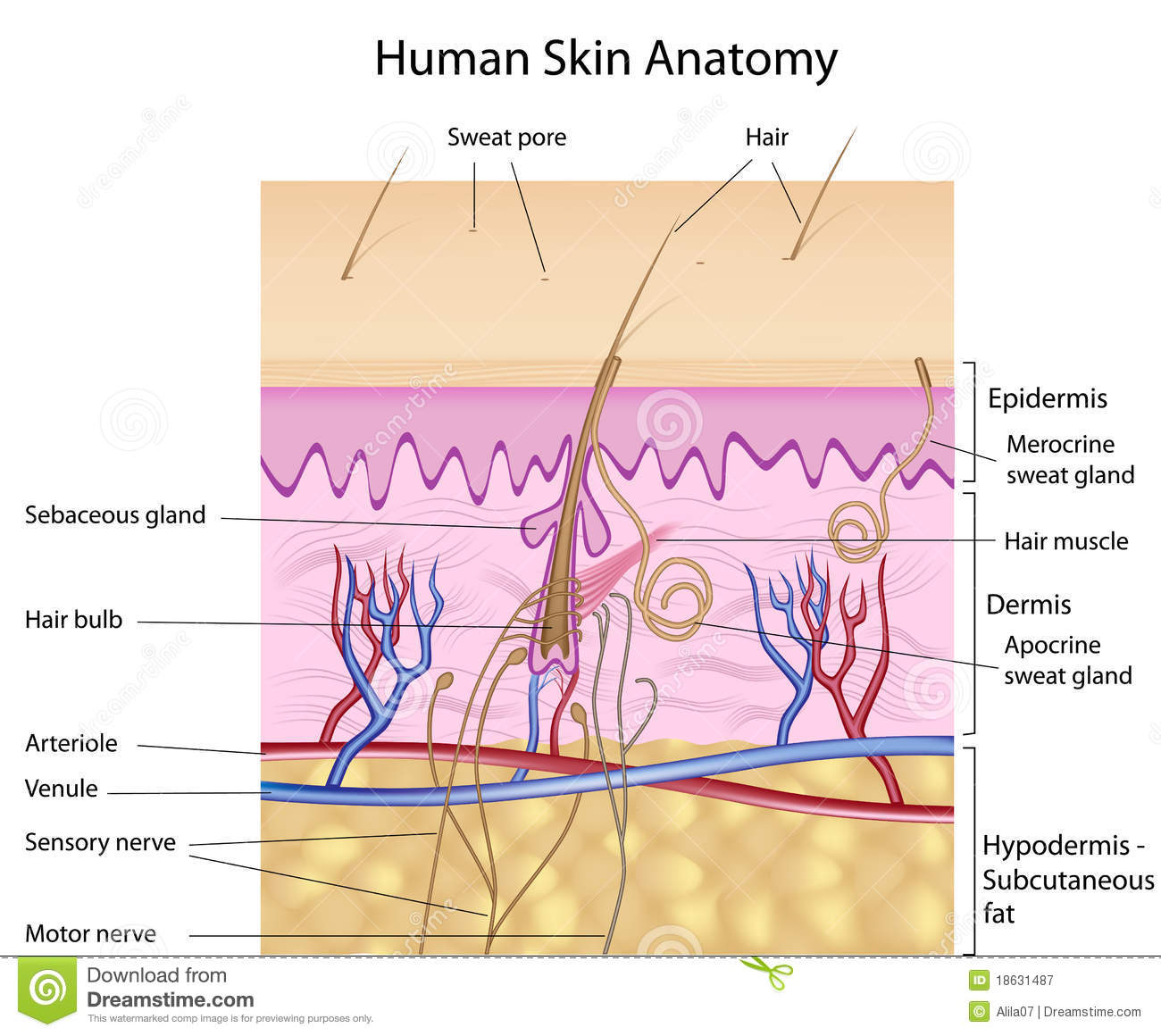 skin layers diagram labeled simple adventureworks 2012 human anatomy, version stock vector - illustration of medical, corneum: 18631487