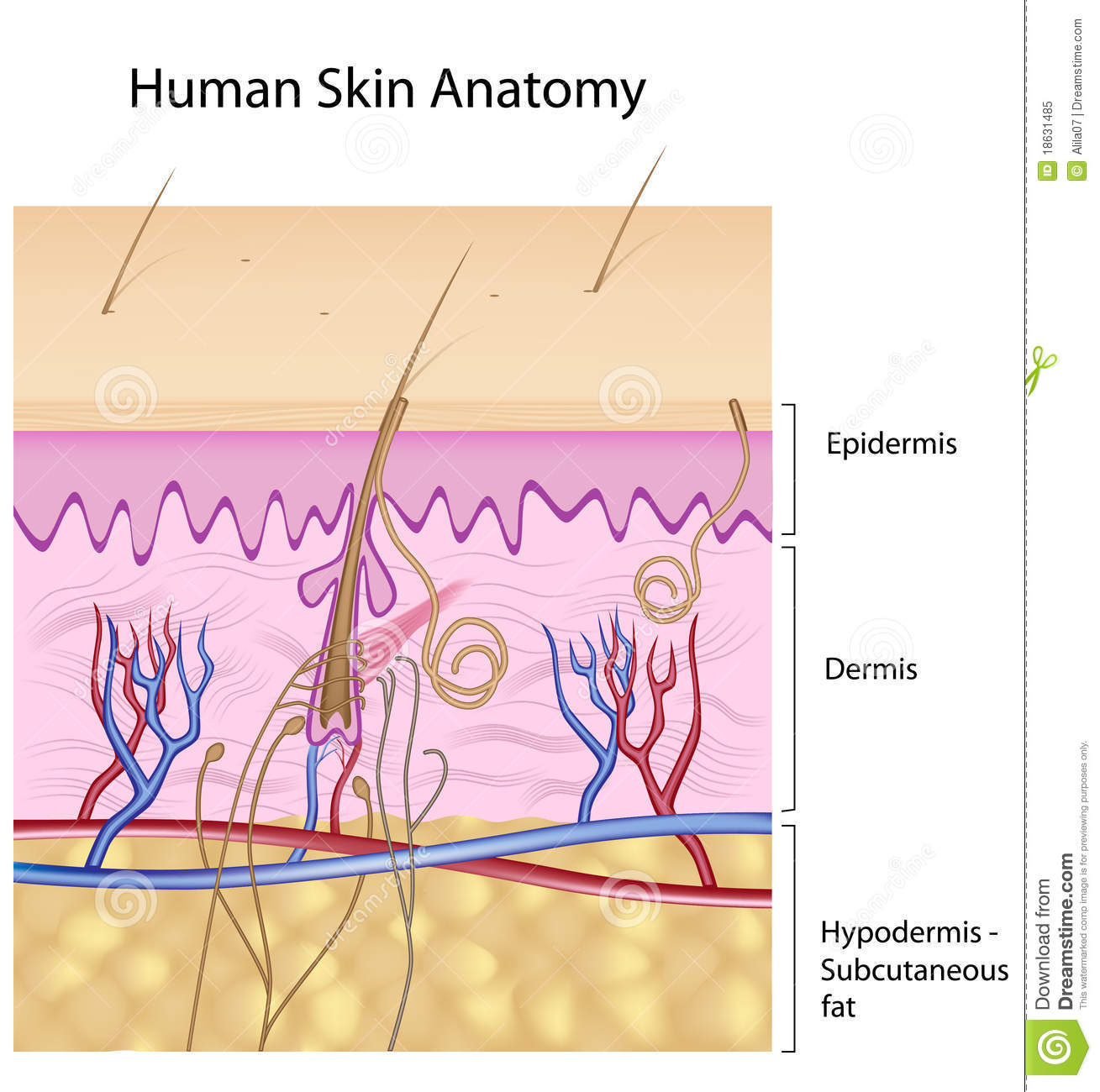 Human Skin Anatomy Non Labeled Version Royalty Free Stock