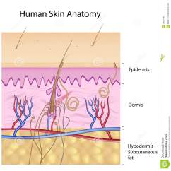 Dermis Layer Diagram House Electrical Panel Wiring Human Skin Anatomy Non Labeled Version Royalty Free Stock