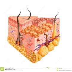 Human Muscle Cell Diagram 2003 Mitsubishi Eclipse Infinity Sound System Wiring Skin Cutaway Diagram, With Several Details. Stock Photography - Image: 22517002