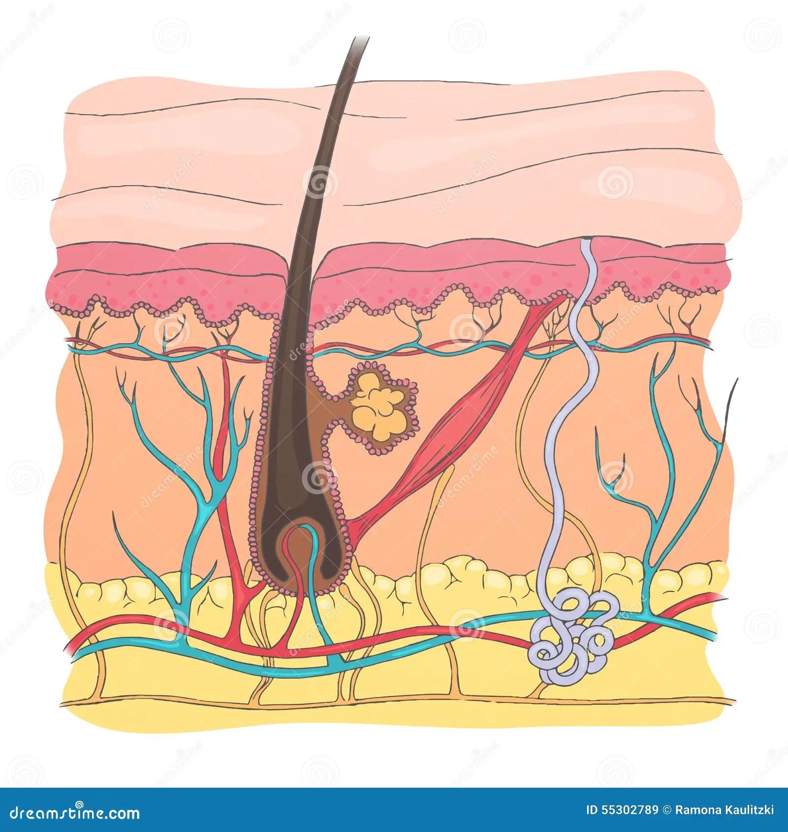 Human Skin Diagram Stock Illustration Illustration Of