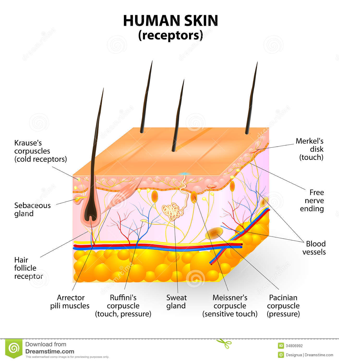 skin layers diagram labeled simple fender mustang pickup wiring nerve all data human layer vector cross section stock illustration of anatomy