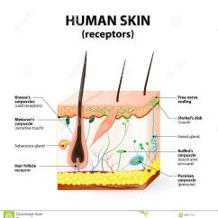 7 Layers Of Skin Diagram Reese Trailer Light Wiring Human Layer Vector Cross Section Stock