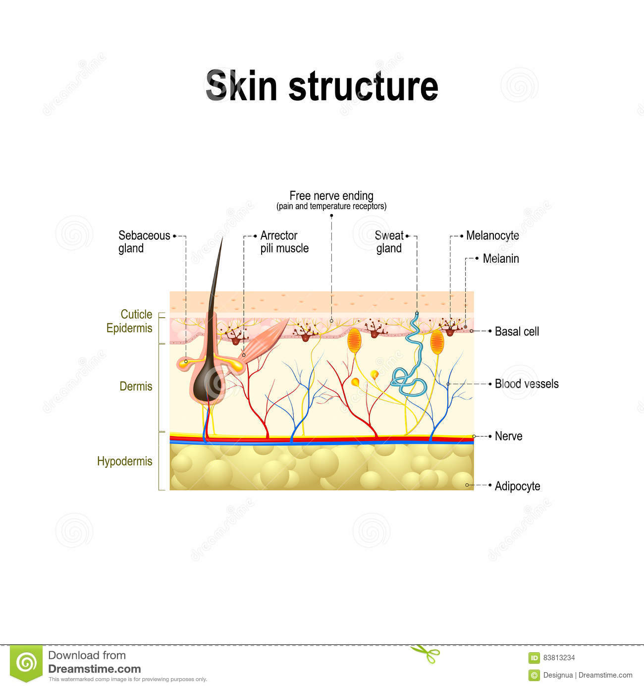skin cross section diagram star topology human structure stock vector illustration of anatomy