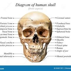 Human Mandible Diagram Nordyne Wiring Electric Furnace Skull Stock Photo Image 59491787