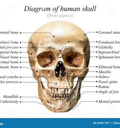 front aspect of human skull diagram on white background for basic medical education [ 1300 x 958 Pixel ]