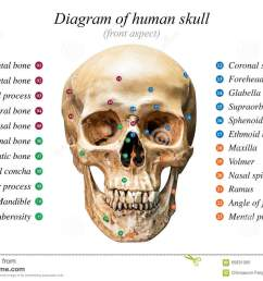 front aspect of human skull diagram on white background for basic medical education [ 1300 x 958 Pixel ]