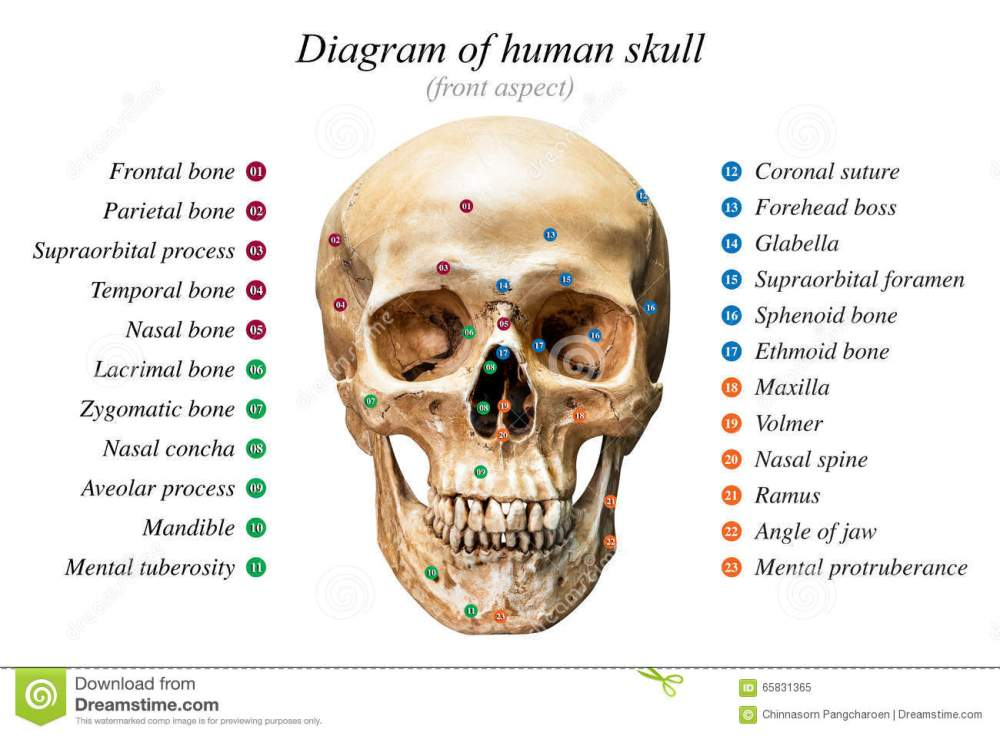 medium resolution of front aspect of human skull diagram on white background for basic medical education