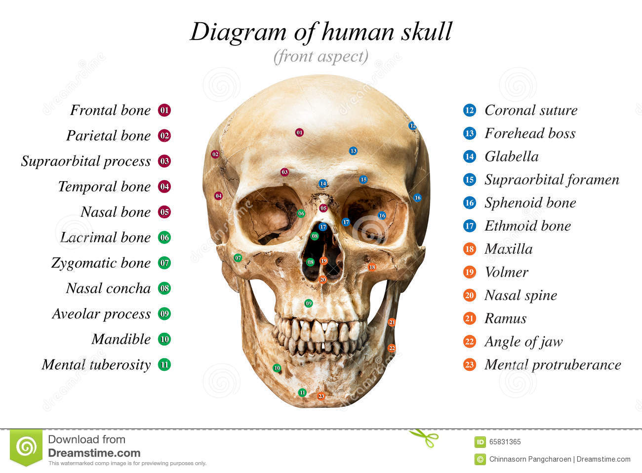 hight resolution of front aspect of human skull diagram on white background for basic medical education