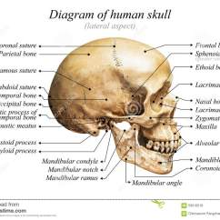 Lateral View Skull Sutures Diagram Seymour Duncan Wiring Diagrams For Strat Human Stock Photo Image Of Chart Education