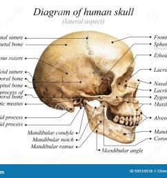 human skull diagram [ 1300 x 958 Pixel ]