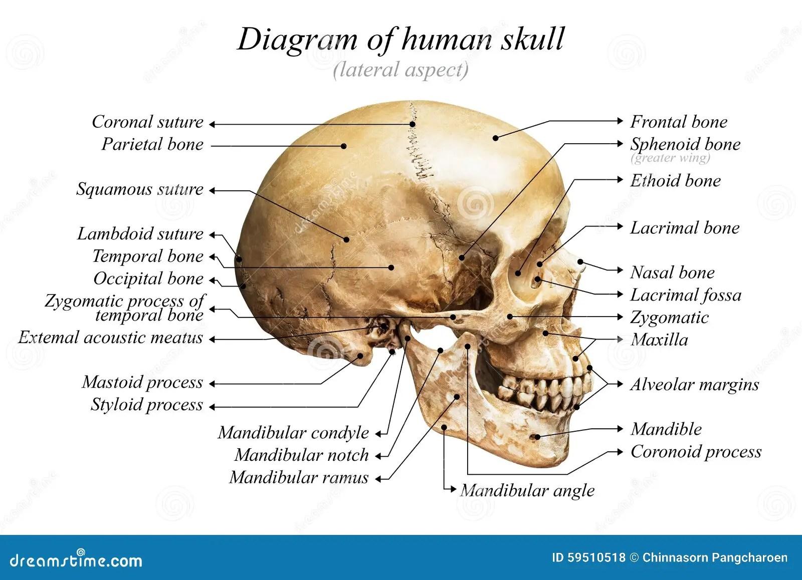 hight resolution of human skull diagram