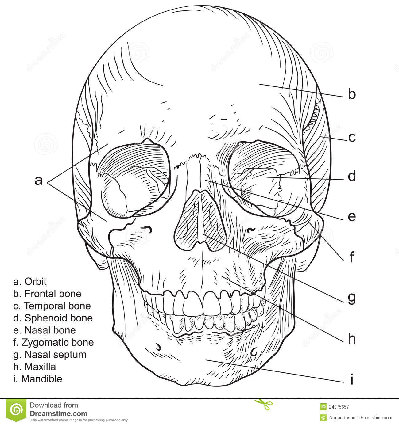 Human Skull Frontal Vector Stock Illustration