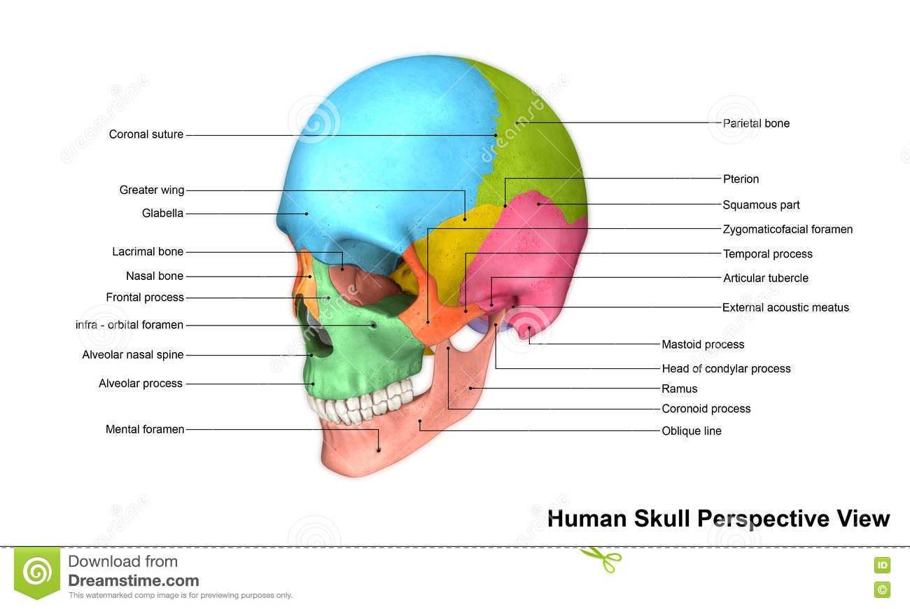 hight resolution of the human skull is generally considered to consist of twenty two bones eight cranial bones and fourteen facial skeleton bones in the neurocranium these