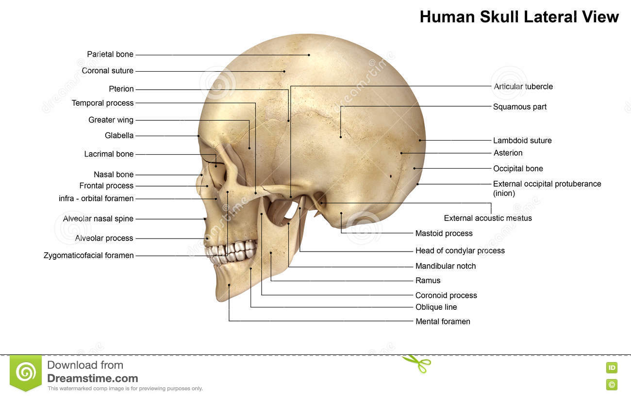 lateral view skull sutures diagram 2008 chevy silverado wiring human stock illustration