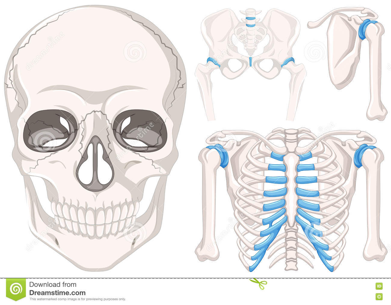 hight resolution of human skull and other parts of bones