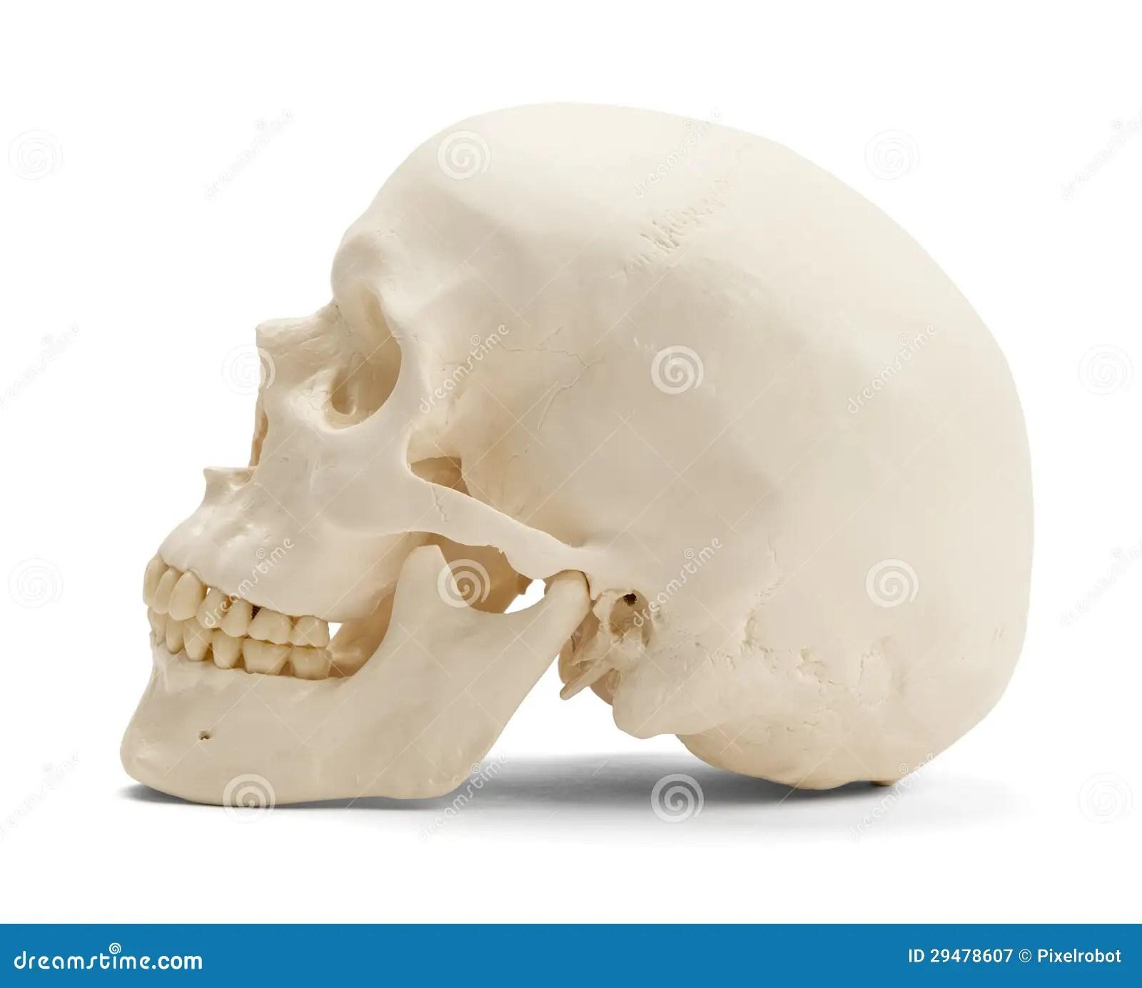 Human Skull Side View Stock Image Image Of Holidays