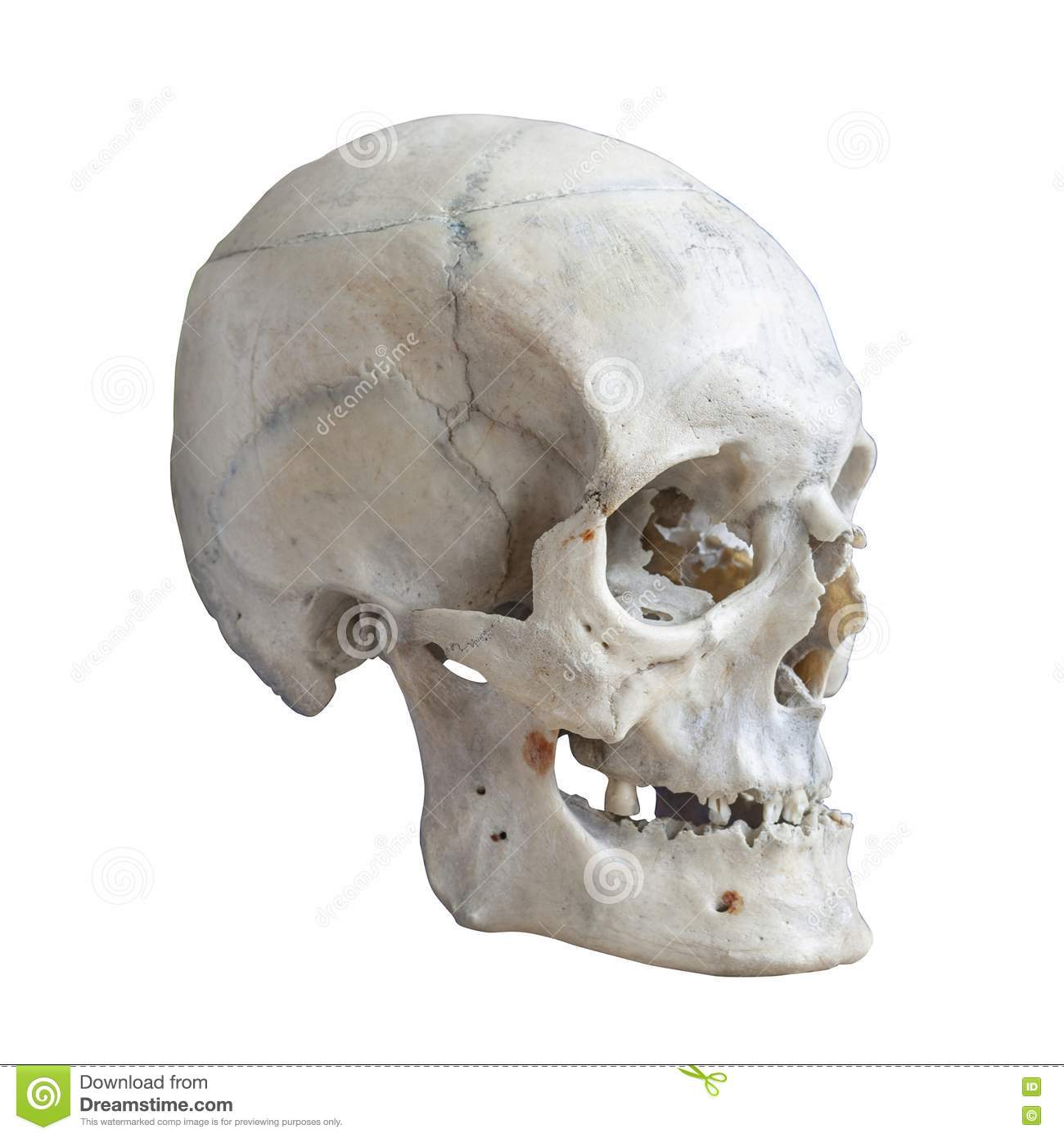 Human Skull Side View Stock Images