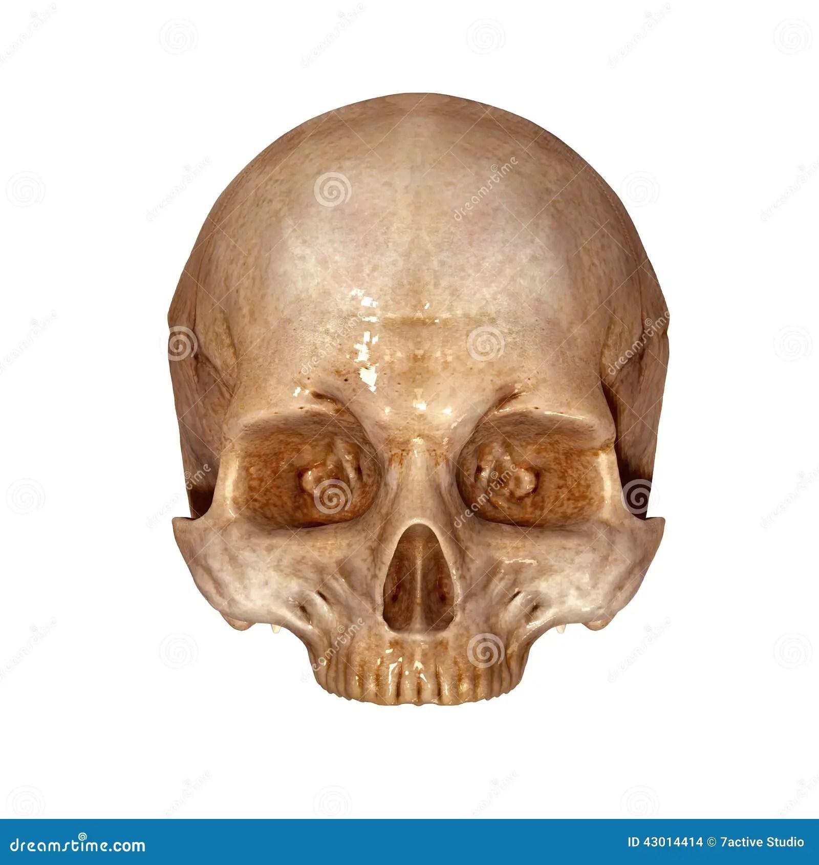 Human Skull Upper Part Stock Illustration