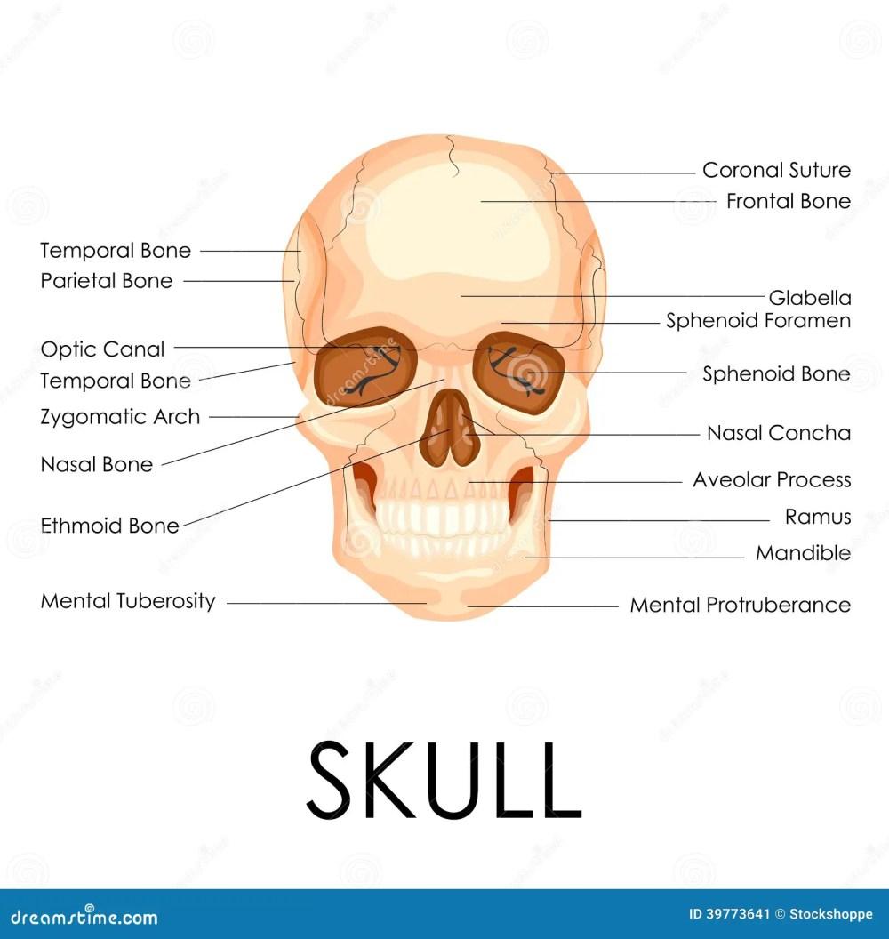 medium resolution of blank human skull anatomy