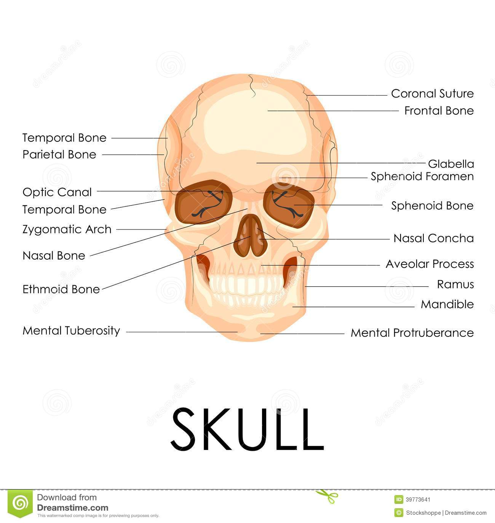 hight resolution of blank human skull anatomy