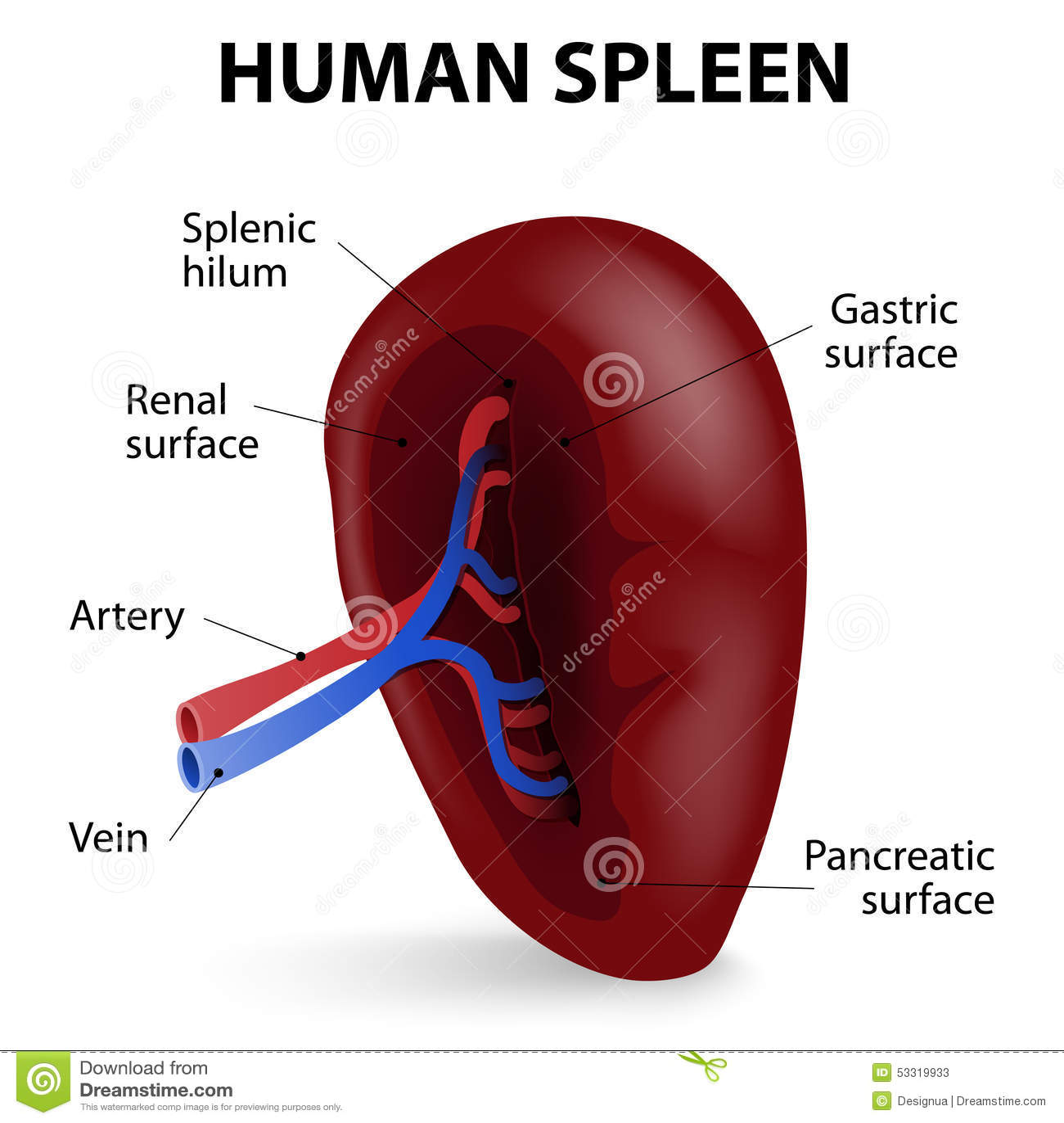 Human Spleen Stock Vector Illustration Of Organ Pancreas