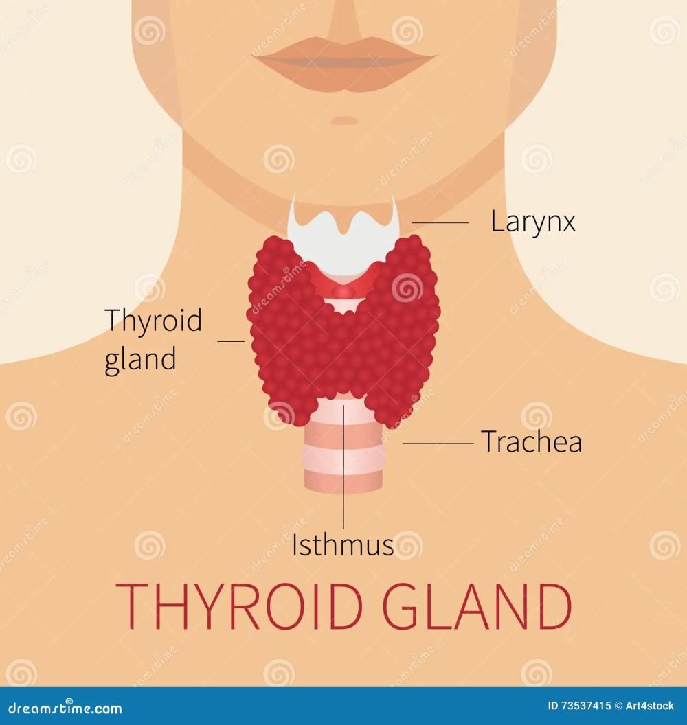 medium resolution of human thyroid gland diagram