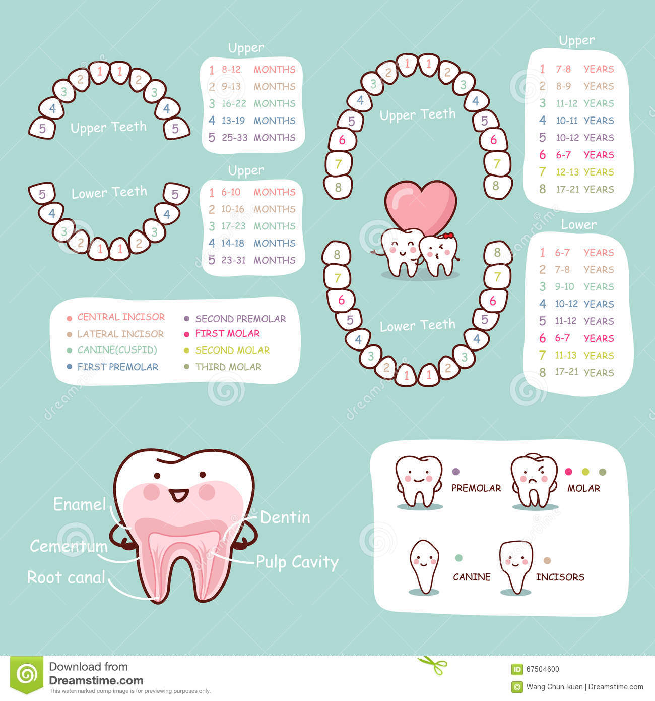 adult tooth diagram aftermarket stereo wiring human cartoon anatomy chart stock vector