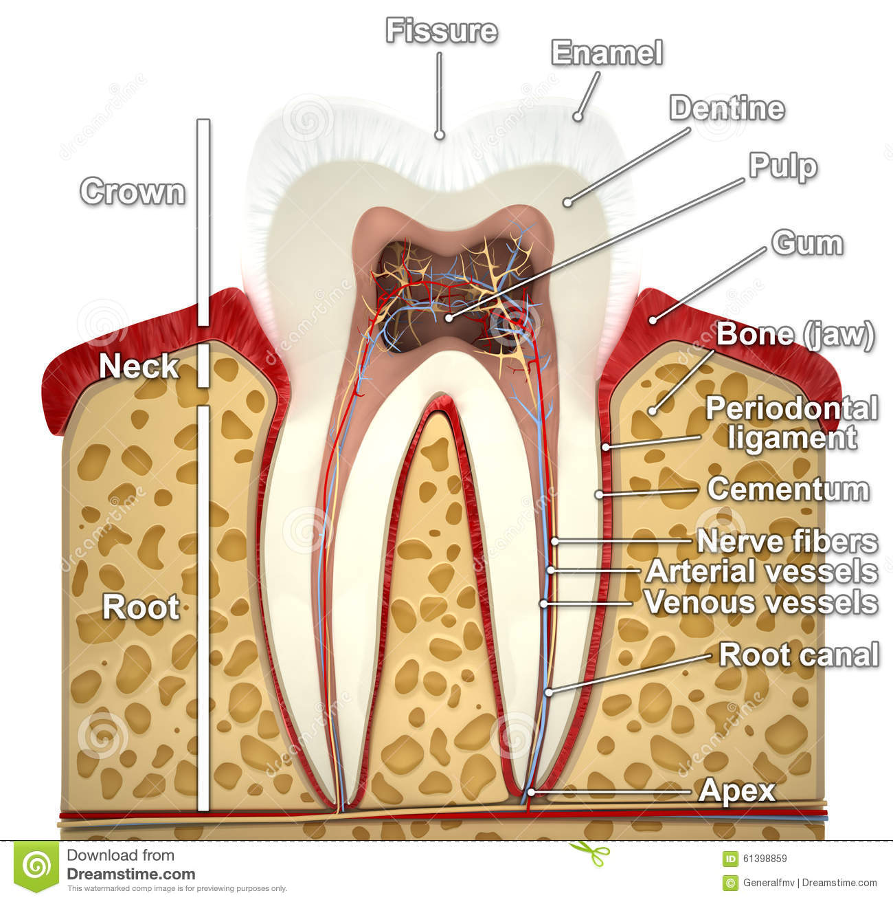 Human Tooth Cross Section 3d Model Stock Illustration