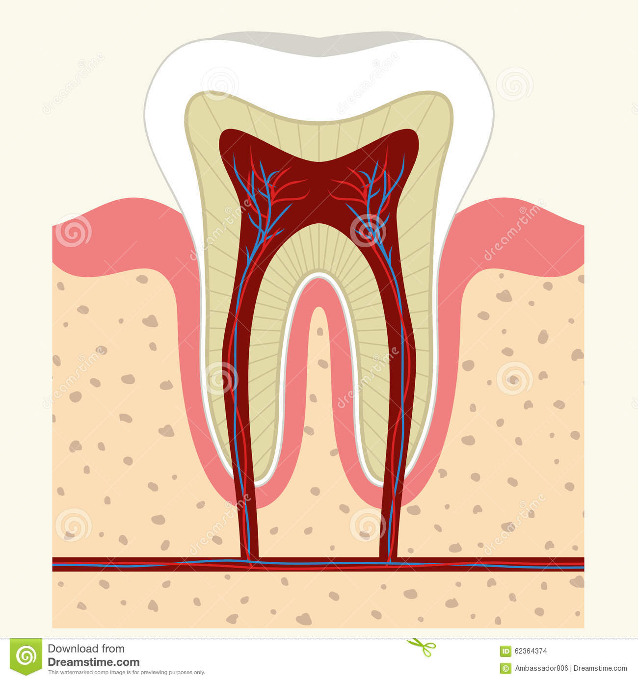 human tooth diagram 7 way navigation and gum anatomy stock vector image 62364374