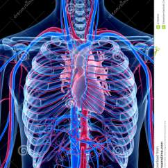 Human Vascular Anatomy Diagram 4l60e Transmission The System Stock Illustration Of