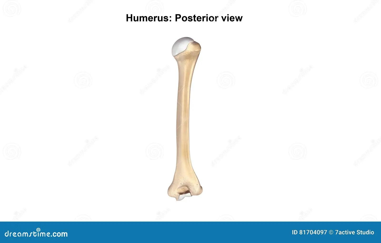 humerus bone diagram ramsey winch wiring design arm related keywords long tail
