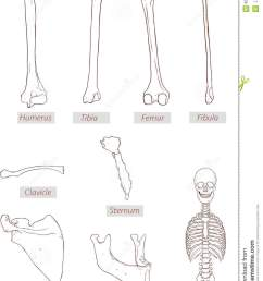 illustration humerus tibia femur fibula clavicle sternum scapula mandible axial skeleton detailed medical illustrations  [ 969 x 1300 Pixel ]