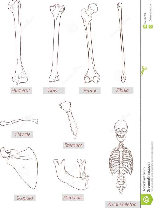 small resolution of illustration humerus tibia femur fibula clavicle sternum scapula mandible axial skeleton detailed medical illustrations