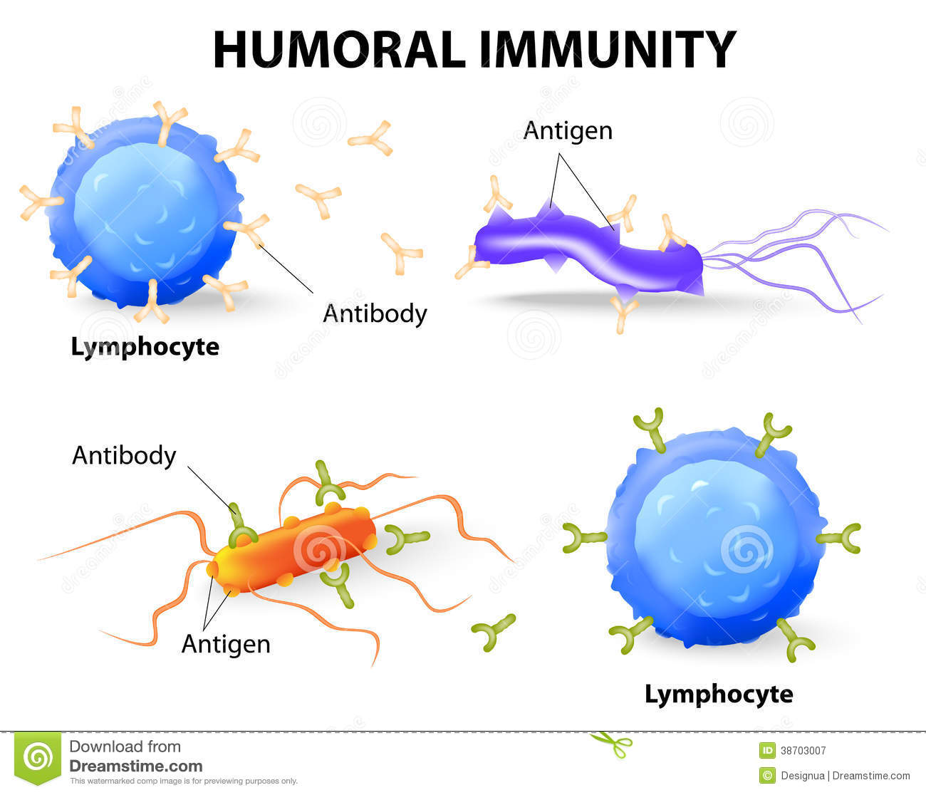 diagram of adaptive immune response flow wiring fog lights with relay humoral immunity lymphocyte antibody and antigen stock