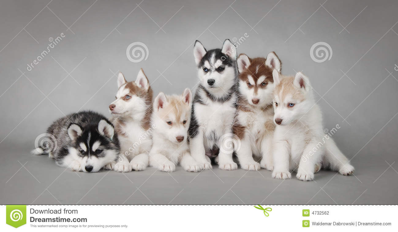 Fall Pumpkin Computer Wallpaper Husky Dog Puppies Stock Photo Image Of Brown Play Beige
