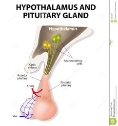 hypothalamus and pituitary gland [ 1209 x 1300 Pixel ]
