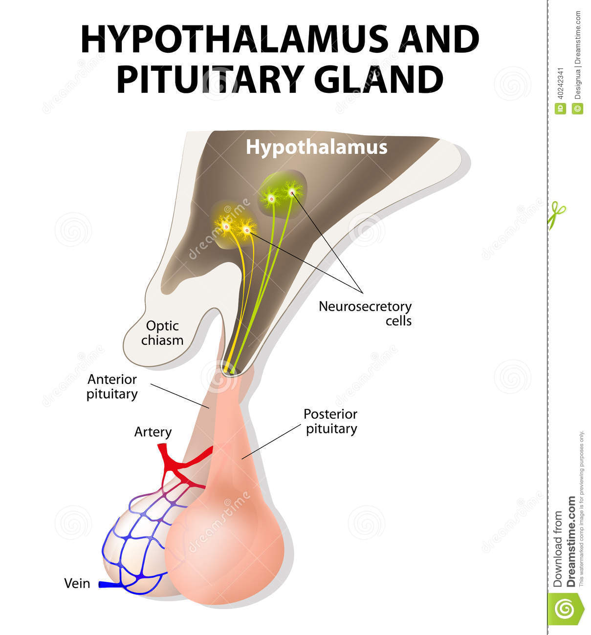 hight resolution of hypothalamus and pituitary gland