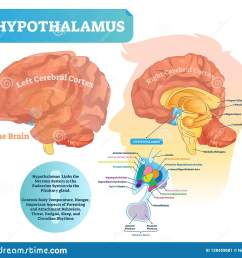 hypothalamus vector illustration labeled diagram with brain part structure [ 1600 x 1467 Pixel ]
