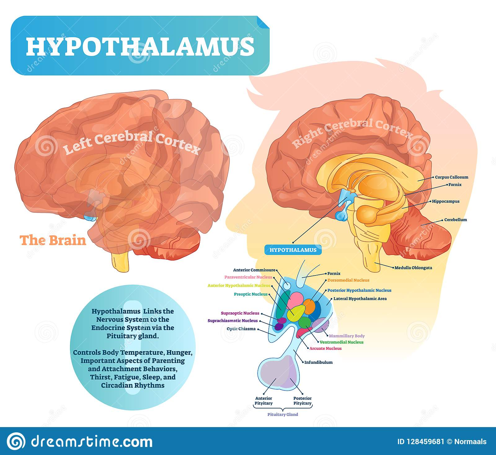 hight resolution of hypothalamus vector illustration labeled diagram with brain part structure