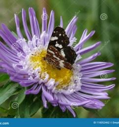 i photograph butterfly beautiful flower summer very purple inside yellow has petals sits macro lot greenery [ 1300 x 1065 Pixel ]