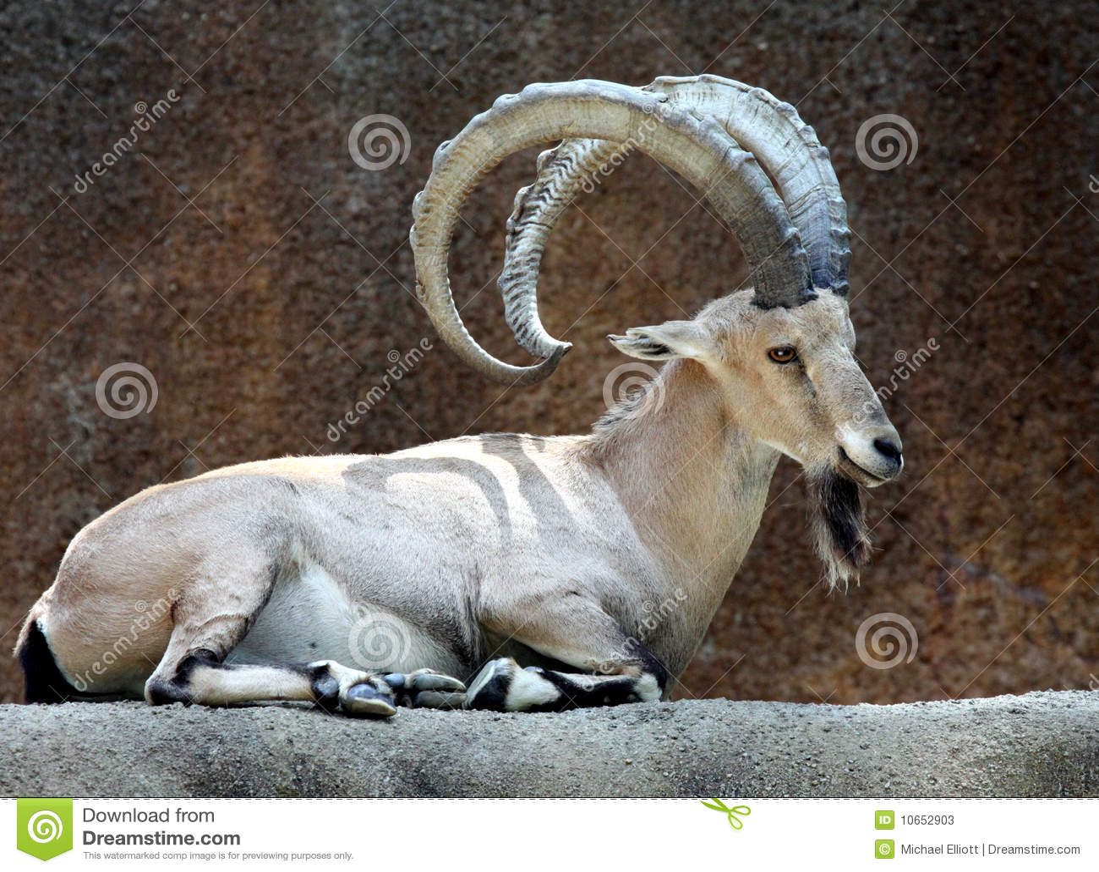 Animal Print Wallpaper Hd Ibex Goat Stock Image Image Of Creature Nature Hoofed