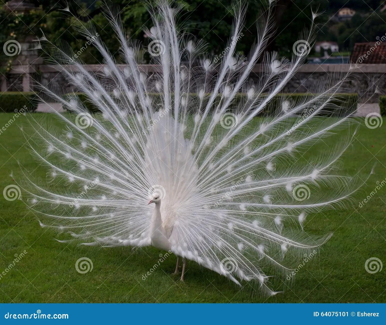 Il pavone bianco immagine stock Immagine di erba italia