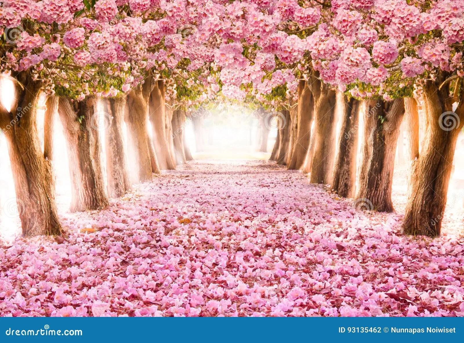 Il Tunnel Romantico Degli Alberi Rosa Del Fiore Fotografia