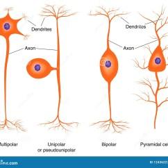 Basic Neuron Diagram 1967 Chevelle Wiring Illustration Of Types Royalty Free Stock